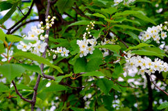 Birdcherry tree Royalty Free Stock Image