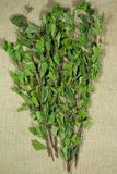 birders Ξηρά φυτά Βοτανική ιατρική, phytotherapy ιατρικά χορτάρια στοκ εικόνες με δικαίωμα ελεύθερης χρήσης