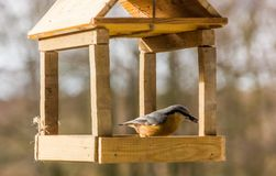 Birdfeeder. Tomtit is eating from the feeder. Birdfeeder. Tomtit is eating from the feeder in winter day Royalty Free Stock Photos