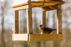 Birdfeeder. Tomtit is eating from the feeder. Birdfeeder. Tomtit is eating from the feeder in winter day Stock Photography