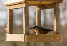 Birdfeeder. Tomtit is eating from the feeder. Birdfeeder. Tomtit is eating from the feeder in winter day Stock Photo