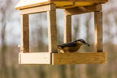 Birdfeeder. Tomtit is eating from the feeder. Birdfeeder. Tomtit is eating from the feeder in winter day Stock Image