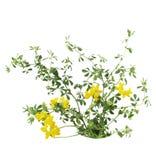 Birdfoot Trefoil. Lotus corniculatus Pea (Fabaceae) flower Royalty Free Stock Images