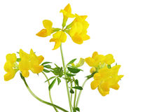 Birdfoot Trefoil Stock Photo