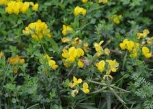 Birdfoot Trefoil Lotus corniculatus. Taken in a local Michigan park Stock Images