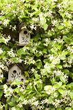 Birdhouse with jasmine. Birdhouses tucked in among the star jasmine vine decorate our patio. I can imagine this as an invitation or note card, from our house to Royalty Free Stock Photos