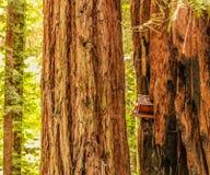 Birdhouse w redwood drzewie Zdjęcie Royalty Free