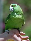 Birdie. Green parrot sitting on human hand royalty free stock images