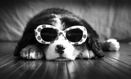 Birdie the Bernese Royalty Free Stock Photography