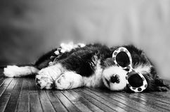 Birdie the Bernese Stock Photos