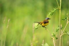 Birdie Royalty Free Stock Photography