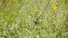 Birdie Bluethroat parmi l'herbe image stock