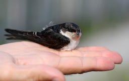 Birdie d'hirondelle images stock