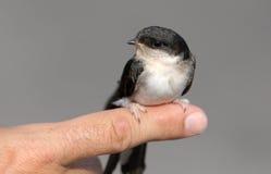 Birdie d'hirondelle photographie stock