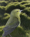 Birdie On the Lawn. Yellow bird sits in the sunny grass Royalty Free Stock Photo