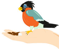 Birdie on palm of the person. Birdie bullfinch on palm of the person with seed Royalty Free Stock Photo