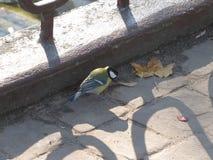 Birdie titmouse Royalty Free Stock Photography