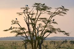 Birding-Baum-Tanzania-savana lizenzfreies stockbild