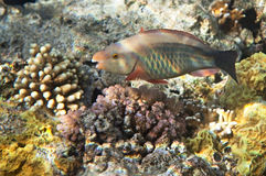Birdled parrotfish Royalty Free Stock Image