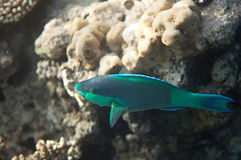 Birdled parrotfish Stock Images