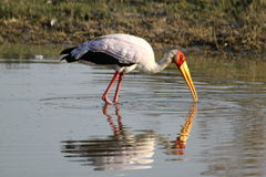 Birdlife in Botswana. Wading yellow billed stork in Botswana royalty free stock photo
