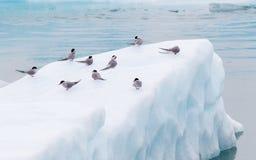 Birdlife in Jokulsarlon, a large glacial lake in Iceland Royalty Free Stock Photography