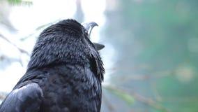 Birdlife in wilde aard Zwarte raafclose-up Kraai die in bos gillen stock footage