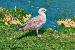 Birdling of Seagull Stock Images