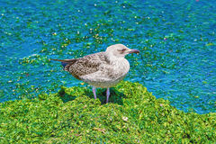 Birdling of Seagull Stock Image