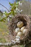 Birdnest. Spring fever - bird's nest with eggs Stock Photography