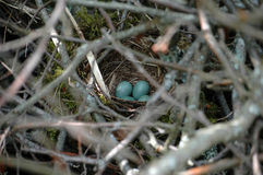 Birdnest with bird's eggs. In middle of branch background Royalty Free Stock Photos