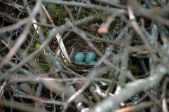 Birdnest with bird's eggs Royalty Free Stock Photos