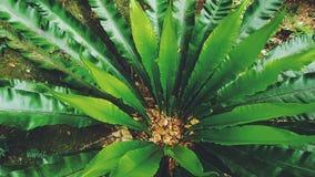 Birdnest la pianta, Australia Immagini Stock