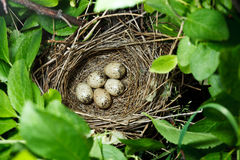 Birdnest (Whitethroat, Sylvia communis). The nest of the Whitethroat (Sylvia communis) in the wild nature Stock Photos