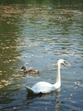 Birds. A swan with a duck royalty free stock photo