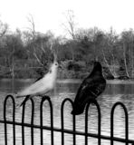 Birds. These are birds near a Valentines Park lake in Ilford Royalty Free Stock Image