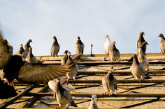 Birds. Herd of raising bird on roof Royalty Free Stock Photography