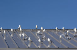 Birds. Seagulls on a metal roof Royalty Free Stock Photo