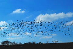 Birds. Flock of birds above horizon against blue sky Stock Image