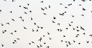 Birds. Flock of starlings flying in the white sky Stock Images