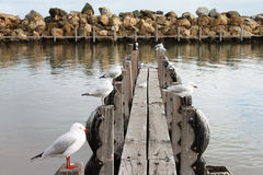 Birds. Amazing picture of sea birds standing on poles in Winter at the Dog beach in Perth, Western Australia stock photography