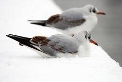 Birds. Two birds on the snow Stock Images