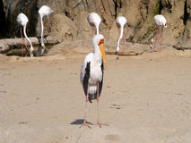 Birds. A stork in the foreground and five birds drinking water Royalty Free Stock Photos