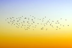 Birds. Flight of birds in the sky Stock Images