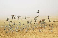 The Birds. Some seabirds taking off at a beach in Santa Cruz, California, on a foggy morning Royalty Free Stock Photo