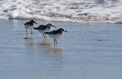 Birds. Three little birds in a beach Stock Images
