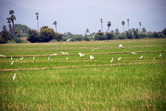 Birds. White birds fly over the paddy field Stock Image