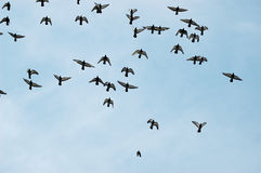 Birds. Pigeons flight under blue sky Stock Photography