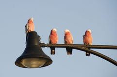 Birds. Pink and gray Australian native  birds Royalty Free Stock Images