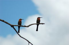 Birds. A pair of bee eater birds on a branch Royalty Free Stock Images